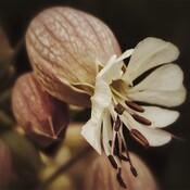 Fleur d'Obélix
