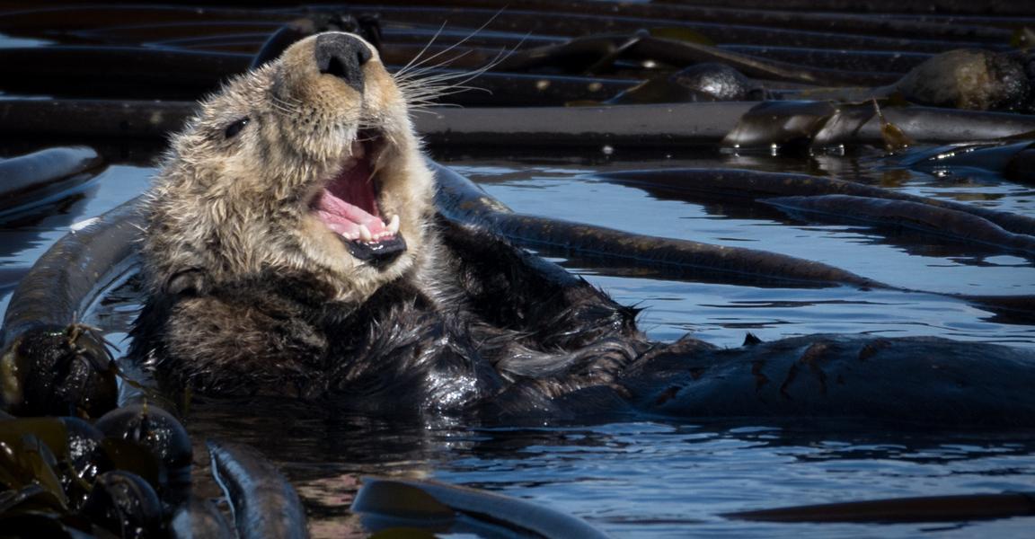 Yawning Sea Otter
