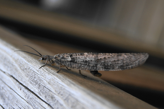 Dobsonfly (chauliodes rastricornis)