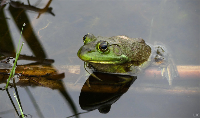 Frog, Elliot Lake. Elliot Lake, ON