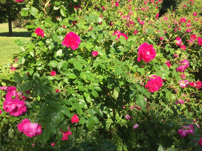 Red roses rising in the morning Jack Darling Memorial Park, Lakeshore Rd W, Lakeshore Road West, Mississauga, ON