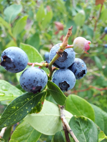 berry time again Mount Brydges, ON