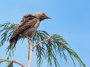 Young Northern Flicker