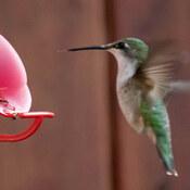 Colibri à gorge rouge