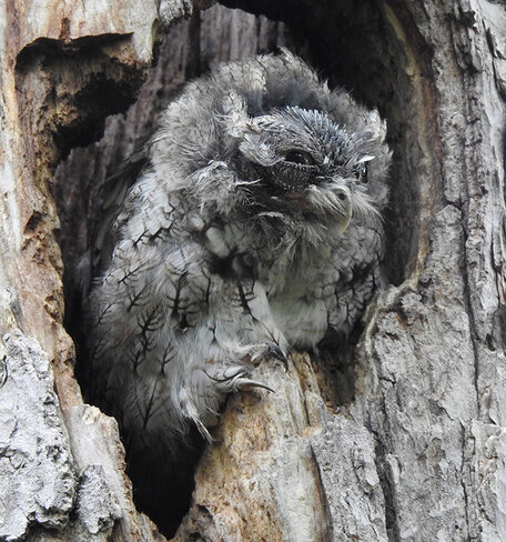Screech Owl moulting Ottawa, ON
