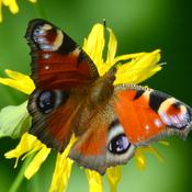 Papillon le paon-du-jour.