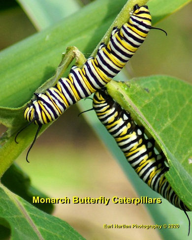 Monarch Butterfly Caterpillars Norfolk County, ON