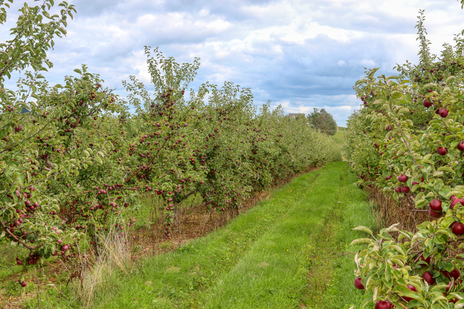 Apple season near Wolfville NS Wolfville, Nova Scotia