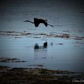 Grand heron bleue