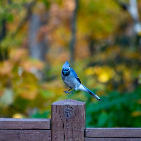 Bluejay above post Woodstock, NB