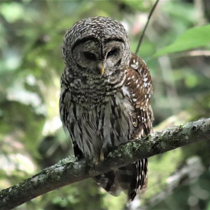 Barred Owl over Hillsborough River