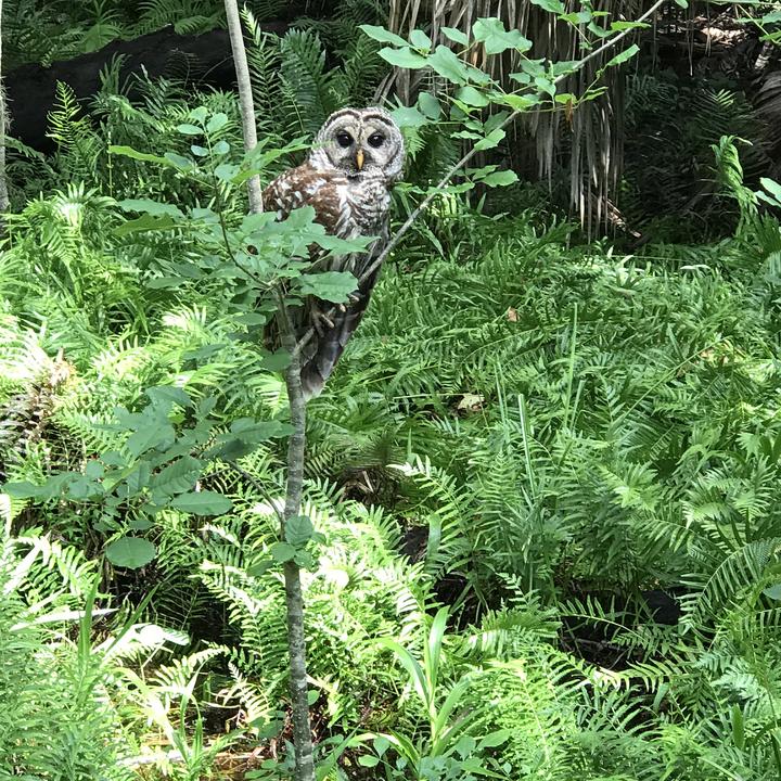 Owl in Highlands Hammock