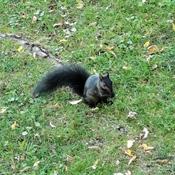 Écureuil noir.