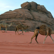 Dromadaires dans le parc de Wadi Rum, Jordanie où Laurence d'Arabie a été filmé.