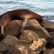 Phoque avachi aux Galapagos