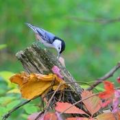 Sittelle d automne