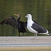 Cormoran et goéland sur le quai...