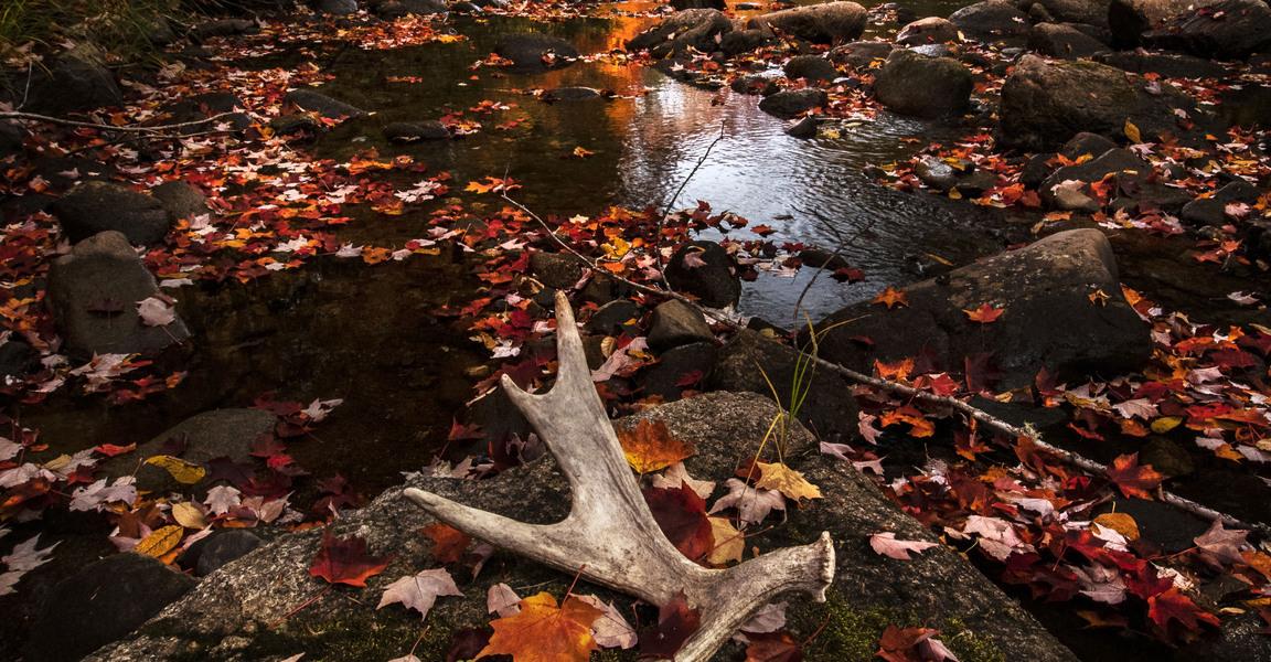 Moose horn on brook.