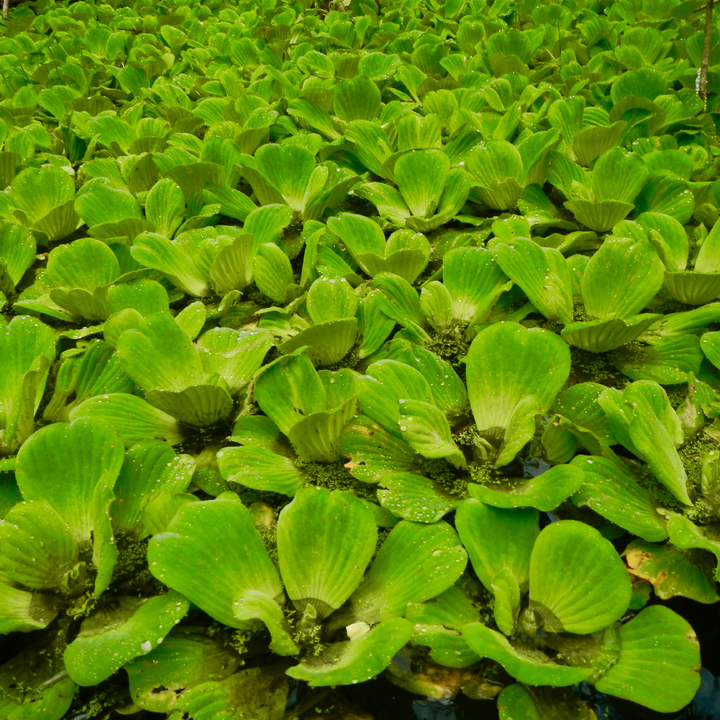 Water Lettuce for Days