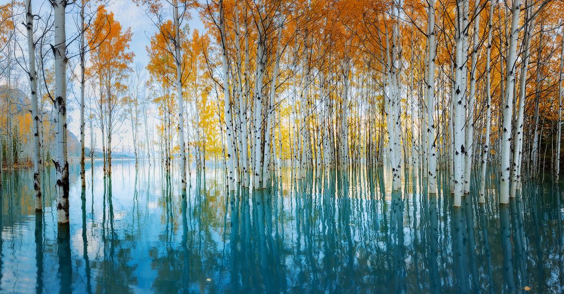 Trees of Abraham Lake