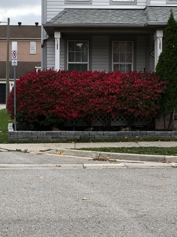 Red hedge Oakville, Ontario, CA