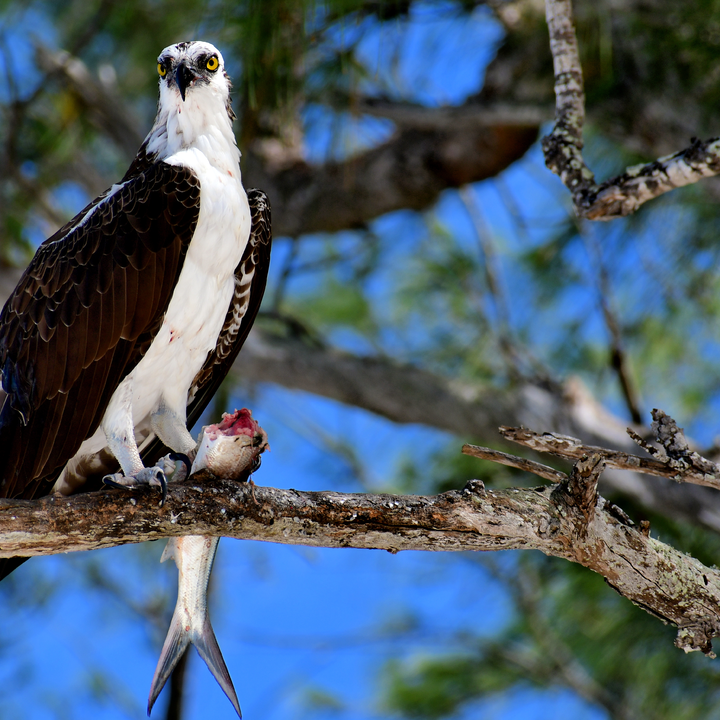 Third Place - Two Tails, an Osprey and his Lunch