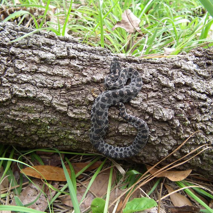 Camo snake