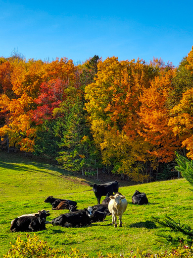 Holly Cow's....In Heavenly Autumn Pasture 🍂