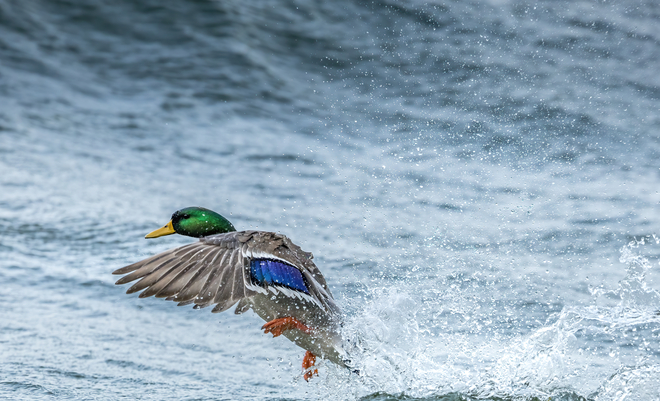 Duck in the waves Kingston, Ontario, CA