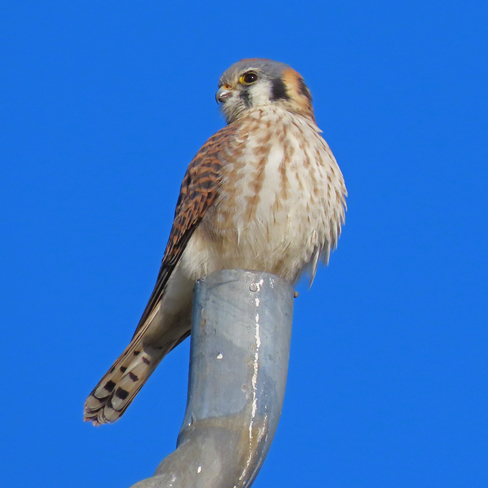 American Kestrels - Perched on a Favourite Spot Whitby, ON
