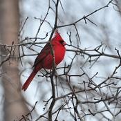 Ce bel oiseau rouge