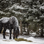Le cheval et la neige