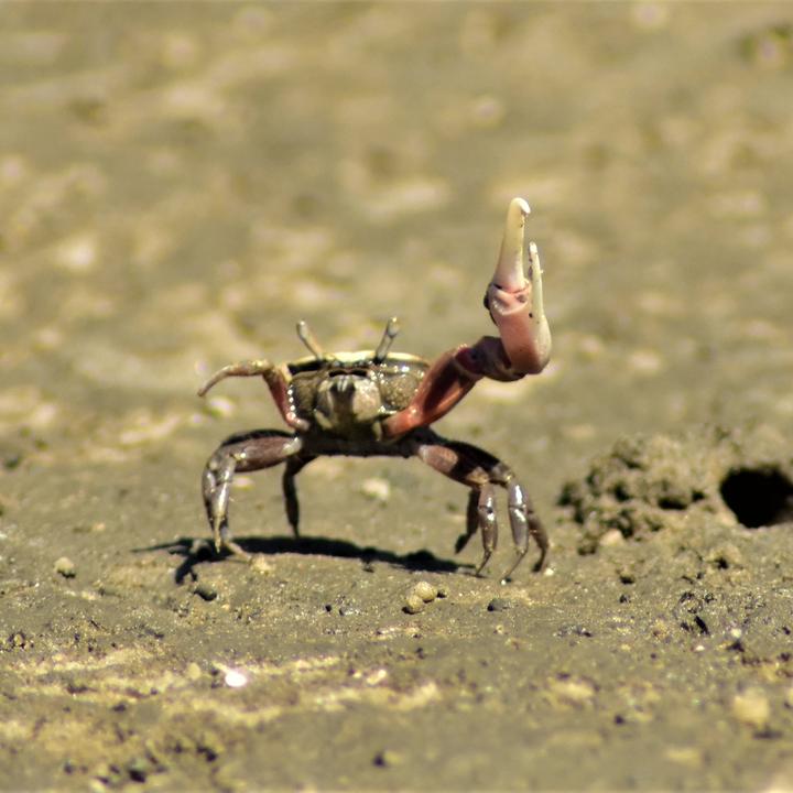Fiddler Crab Defending it's Home