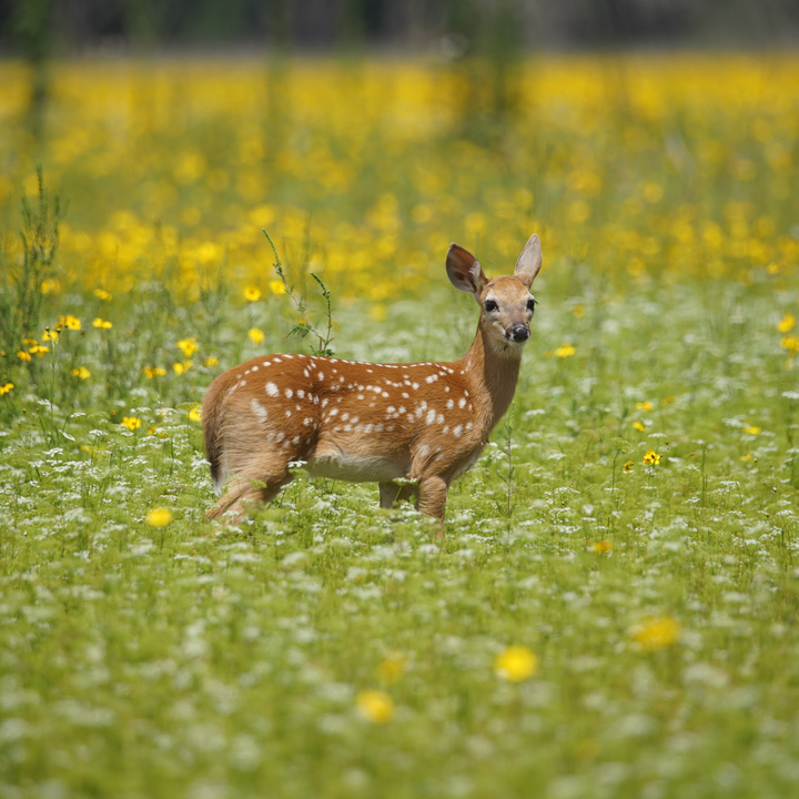 Young Fawn in the Flowers