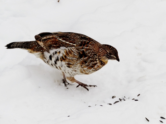 Ruffed Grouse Ottawa, ON