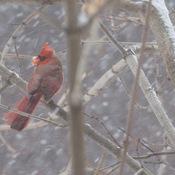 Cardinal rouge dans une tempête