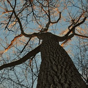 Le vieux chêne