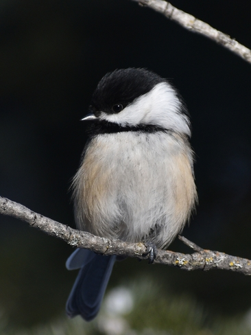 Black Capped Chickadee Thunder Bay, ON