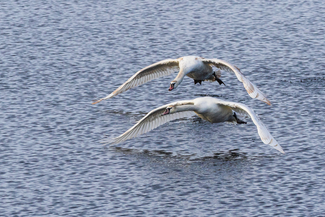 Swans over the Bay of Quinte Belleville, ON