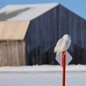 Le sud...Harfang des neiges