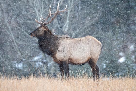 Boris the Elk
