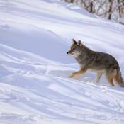 Coyote a faim