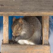 Écureuil gris endormi