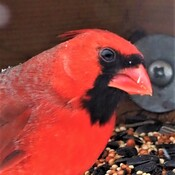 Cardinal Je suis beau de profil
