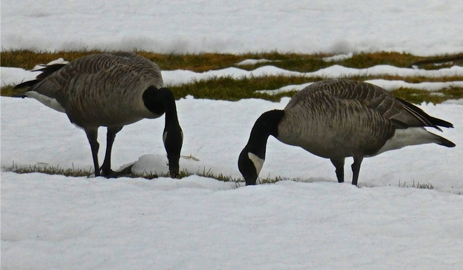GEESE GREEDY FOR GRASS!! Cranbrook, BC