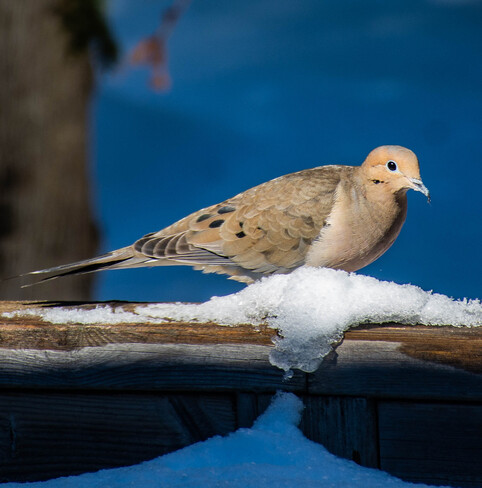 Mourning Dove 447085 10th Concession, Flesherton, ON