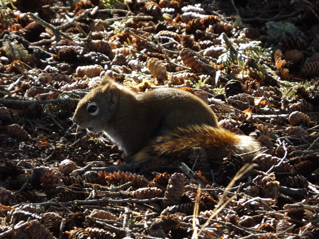 RED SQUIRREL enjoying the WEATHER 332 Sandy Beach Rd, Thunder Bay, ON P7J 1J8, Canada