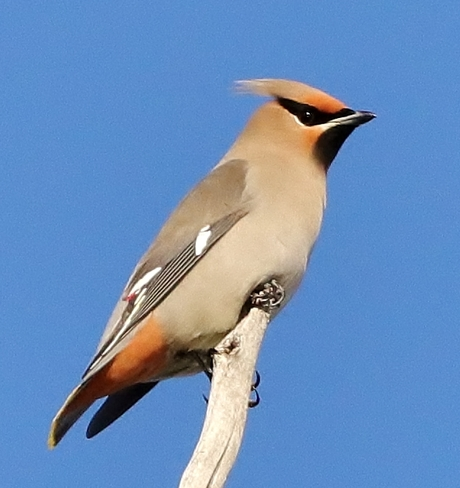 Waxwings Brooks, AB