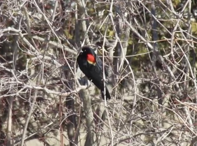 Red Winged Blackbird Tilbury, Chatham-Kent, ON