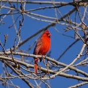 Le retour du cardinal flamboyant